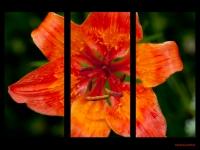 lilie-cibulkonosnalilium-bulbiferum